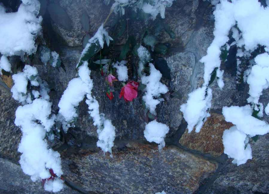 Rose,-Snow,-Rock-Wall_2